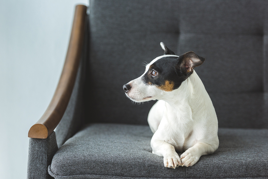 image of jack russell on a sofa. Heatwave creating perfect storm for flea infestations article
